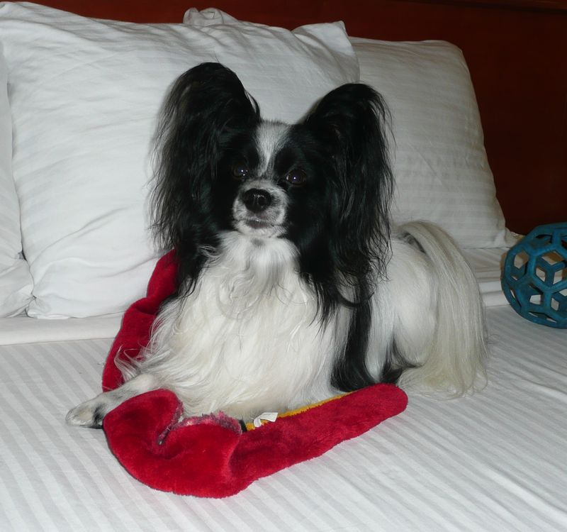 Masher relaxing after 2011 AKC Invitational